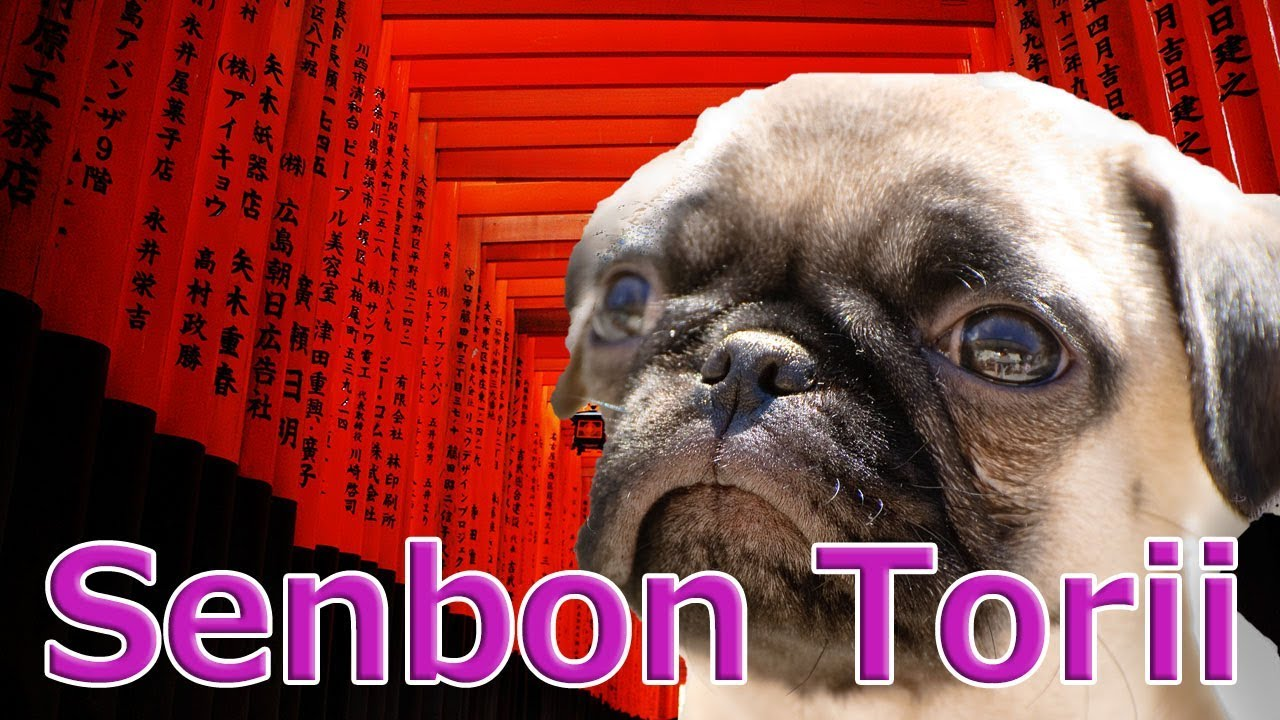 [Japan]Senbon Torii at Fushimi Inari Taisha in Kyoto with Pug dog