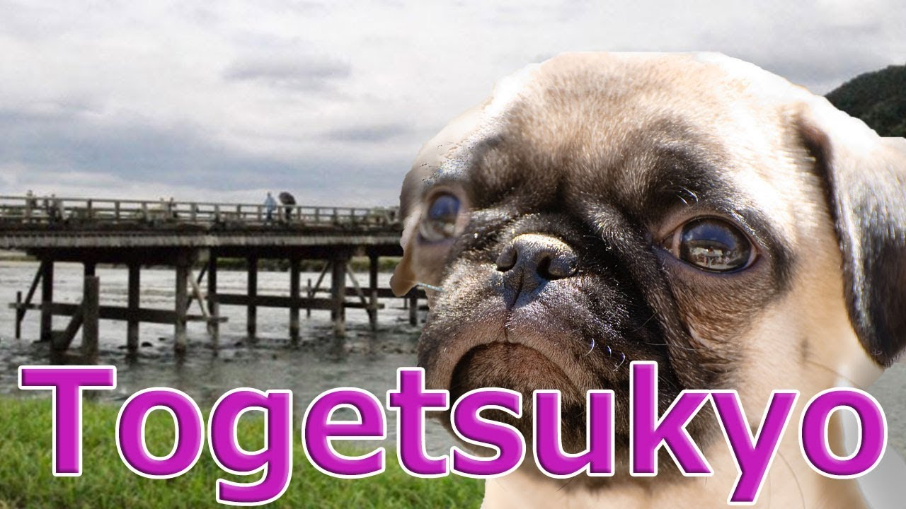[Japan]Togetsukyo Bridge.Kyoto's famous sightseeing spot with Pug dog