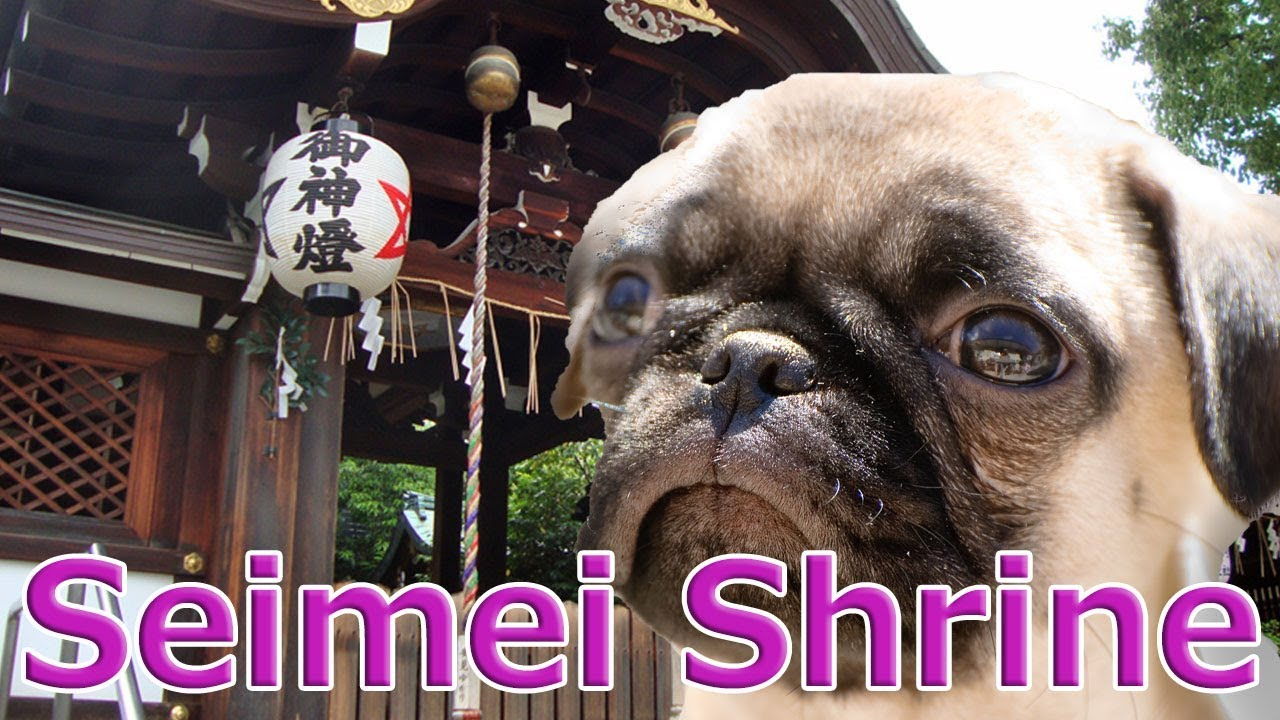 [Japan trip]Seimei-jinja Shrine in Kyoto is a power spot where divination often hits.With Pug dog