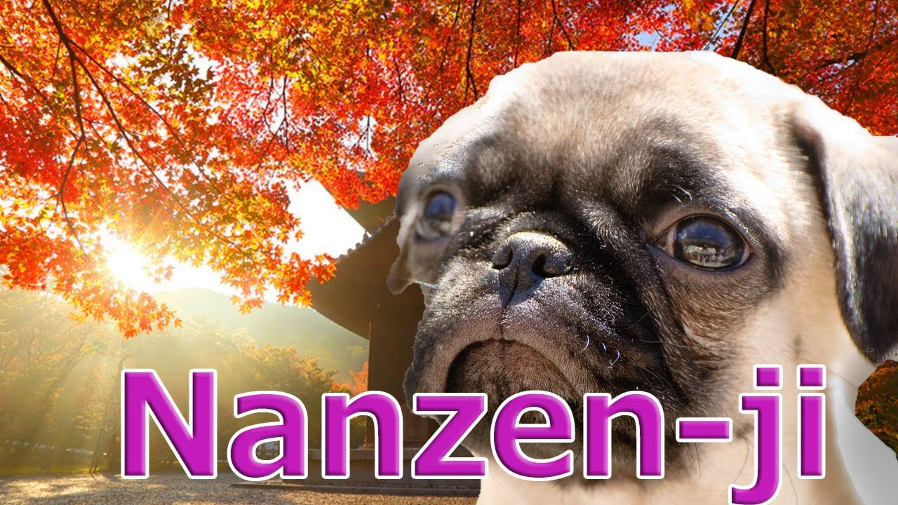 [Japantrip]Kyoto,Nanzen-ji Temple, Autumn leaves popular spot.With Pug Dog