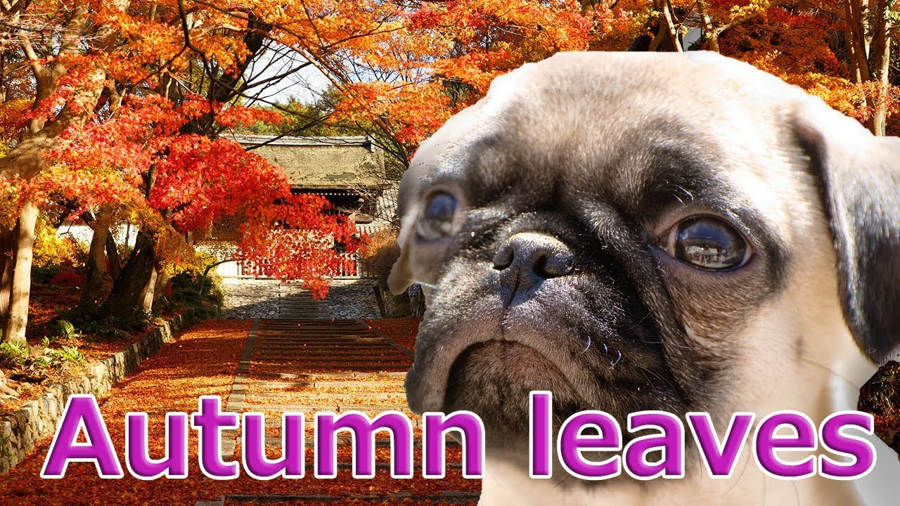 [Japan trip]The autumn leaves in Kyoto are the most beautiful!With Pug dog