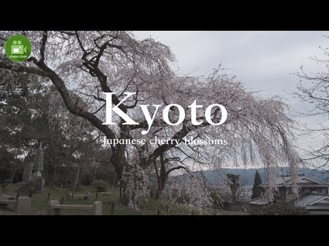 "【Kyoto】4K Cherry blossoms ""Iwaya Temple"" Visit Japan Travel Guide☆岩屋寺の桜"