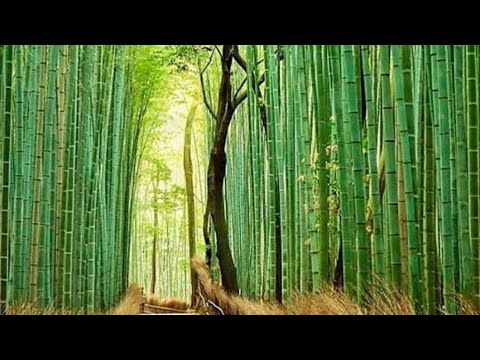 Kyoto Japan Arashiyama Travel Guide ( Bamboo forest, Monkey park, Owl Cafe)