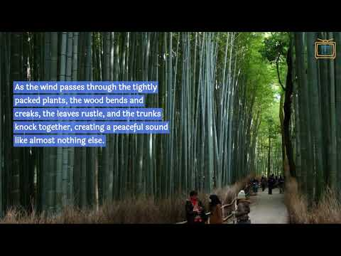 "A closer look at the ""Sagano Bamboo Forest"" in Kyoto"