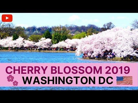 🌸 Cherry Blossom 🌸in Washington DC USA || Japanese Sakura of Tokyo Kyoto Japan || Documentary 2019