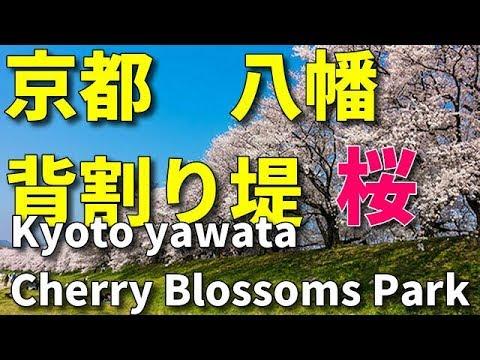 背割り堤の桜並木です   京都府八幡市  2019・04・02  京都旅行 kyoto tour