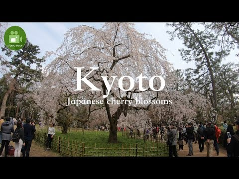"【Kyoto】4K Cherry blossoms ""Kyoto Gyoen"" Visit Japan Travel Guide☆京都御苑の桜"