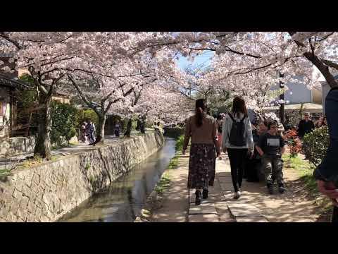 [trailer] Sakura Travel, Kyoto (2018), 교토 사쿠라 여행기 예고