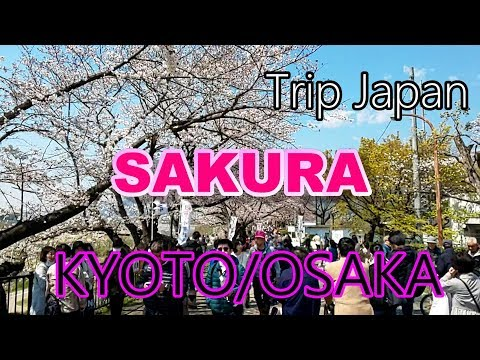 【Japan】Kyoto~Osaka【sakura】cherry blossom viewing