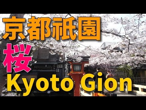 京都祇園 桜満開 2019・4・8 kyoto gion cherry blossoms 京都旅行  kyoto tour