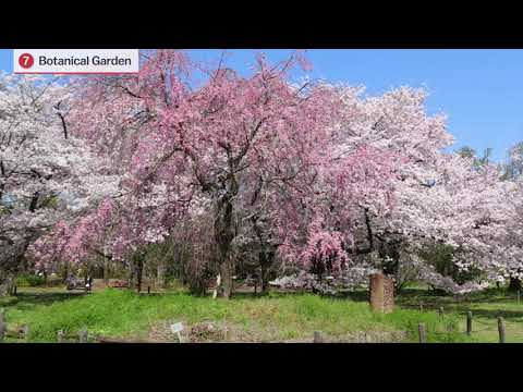 Top Ten Cherry Blossom Spots in Kyoto or Japan Guide.com. (京都の桜の名所トップ10.)